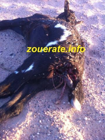 إحدى الشياه النافقة بقعل اعتداءات كلاب سائبة-ازويرات إنفو /أرشيف